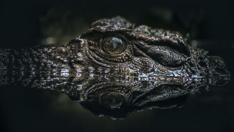Olej z krokodyla