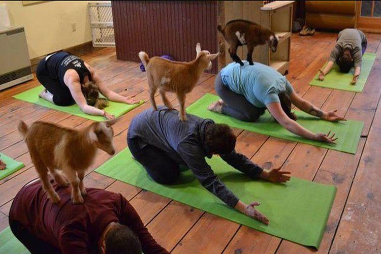 Co to jest goat yoga?